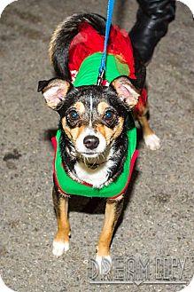 Chihuahua/Pomeranian Mix Dog for adoption in Owensboro, Kentucky - Padme