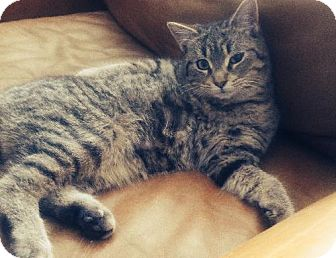 Domestic Shorthair Cat for adoption in Kingston, Ontario - Roxie