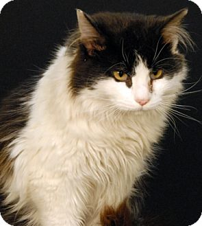 Domestic Mediumhair Cat for adoption in Newland, North Carolina - Wiley
