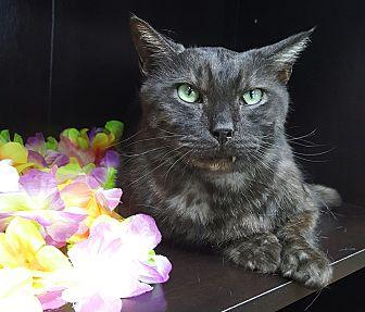 Domestic Shorthair Cat for adoption in Albemarle, North Carolina - Storm