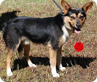 Corgi/Jack Russell Terrier Mix Dog for adoption in Rockville, Maryland - Opie