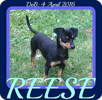 Dachshund/Miniature Pinscher Mix Dog for adoption in Manchester, New Hampshire - REESE