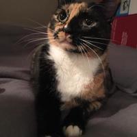 Adopt A Pet :: Cali - Baltimore, MD