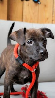 Terrier (Unknown Type, Small) Mix Dog for adoption in Seattle, Washington - Ada