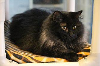 Domestic Longhair Cat for adoption in Colorado Springs, Colorado - Belize