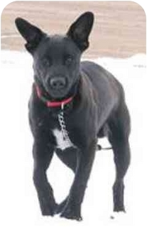 Retriever (Unknown Type) Mix Dog for adoption in Oxford, Michigan - Rugby