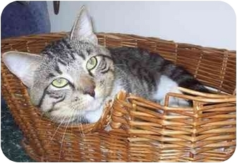 Domestic Shorthair Cat for adoption in Howes Cave, New York - Max
