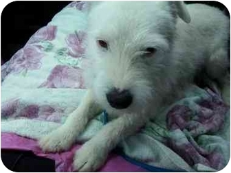 Jack Russell Terrier Dog for adoption in Thomasville, North Carolina - Spunky