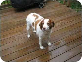 Brittany Dog for adoption in West Creek, New Jersey - JADE