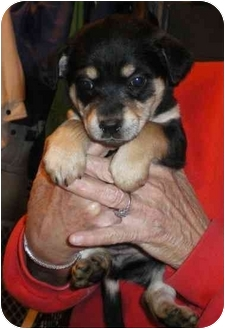 Beagle/Husky Mix Puppy for adoption in Newburgh, Indiana - 2 puppies (F)
