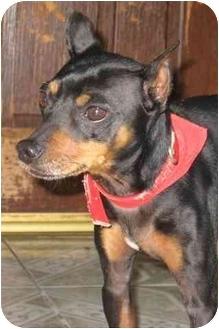 Miniature Pinscher Dog for adoption in Poway, California - JAKE