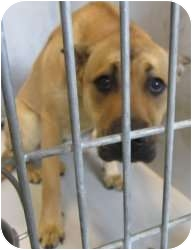 Great Dane Mix Dog for adoption in Kansas City, Missouri - A12850905