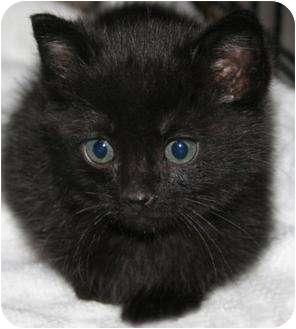 Domestic Shorthair Kitten for adoption in Edmonton, Alberta - Bear