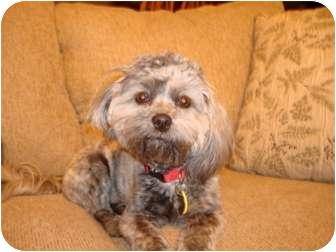 Shih Tzu/Poodle (Miniature) Mix Puppy for adoption in Melbourne, Florida - CISCO