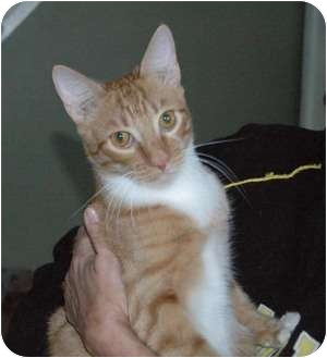 Bengal Cat for adoption in Chula Vista, California - Ferrin Fireheart
