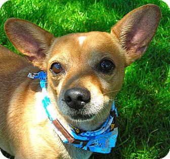 Chihuahua Dog for adoption in El Cajon, California - Pancho