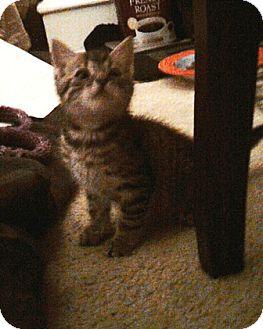 Domestic Shorthair Cat for adoption in Kirkwood, Delaware - Tigger