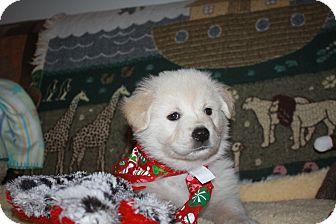 German Shepherd Dog/Labrador Retriever Mix Puppy for adoption in Studio City, California - Shasta