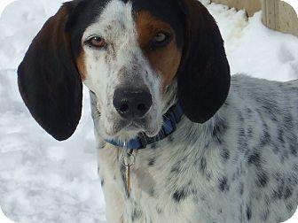 Treeing Walker Coonhound Dog for adoption in Carey, Ohio - Delaney