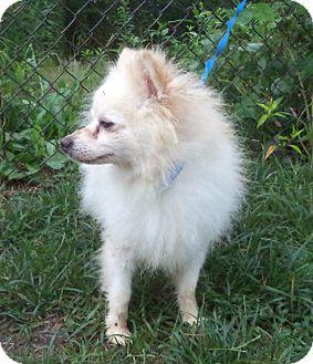 American Eskimo Dog Mix Dog for adoption in Marietta, Georgia - POOH (R)