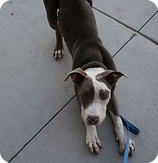 Great Dane/Pit Bull Terrier Mix Dog for adoption in Gilbert, Arizona - Larry
