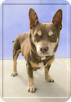 Chihuahua Dog for adoption in Sacramento, California - Ernie looking for playmate