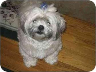 Shih Tzu Dog for adoption in New York, New York - Tammy