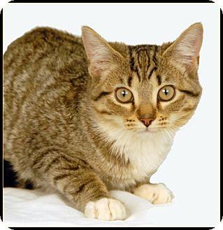 Domestic Shorthair Cat for adoption in Newland, North Carolina - Gary