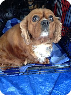 Cavalier King Charles Spaniel Dog for adoption in Oak Ridge, New Jersey - Tommy