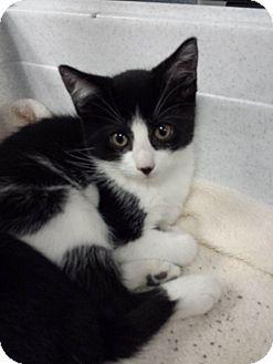 Domestic Shorthair Kitten for adoption in Richboro, Pennsylvania - Erika Christensen