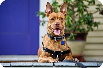 Australian Cattle Dog/Pit Bull Terrier Mix Dog for adoption in Houston, Texas - Kirby