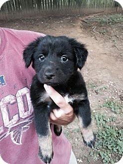 Sheltie, Shetland Sheepdog/Keeshond Mix Puppy for adoption in Albany, New York - Luna