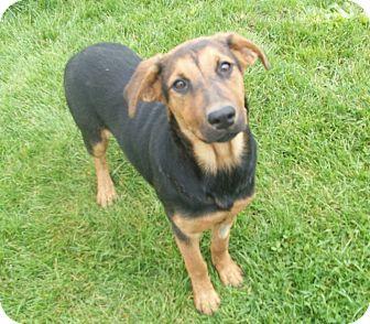 German Shepherd Dog/Australian Shepherd Mix Puppy for adoption in Liberty Center, Ohio - Tammy