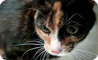 Domestic Shorthair Cat for adoption in Parma, Ohio - Socks