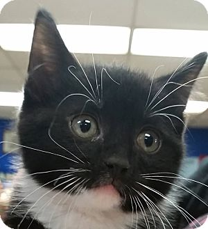 Domestic Shorthair Kitten for adoption in Adrian, Michigan - Fiesty