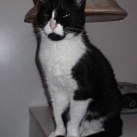 Domestic Mediumhair Cat for adoption in Livonia, Michigan - Gizmo