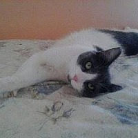 Domestic Shorthair Cat for adoption in Lancaster, California - Lindsey
