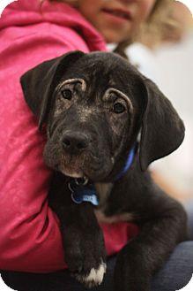 Retriever (Unknown Type)/Hound (Unknown Type) Mix Puppy for adoption in Minneapolis, Minnesota - Shade