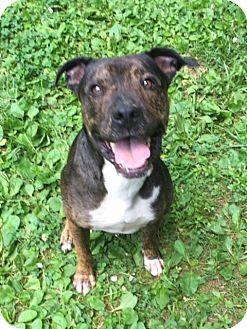 Plott Hound/Terrier (Unknown Type, Medium) Mix Dog for adoption in Baltimore, Maryland - Harley