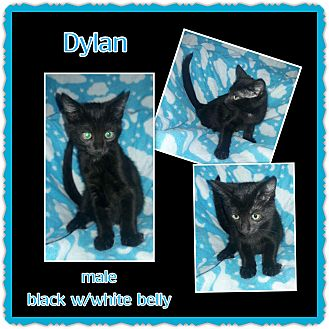 Domestic Shorthair Kitten for adoption in Richmond, California - Dylan