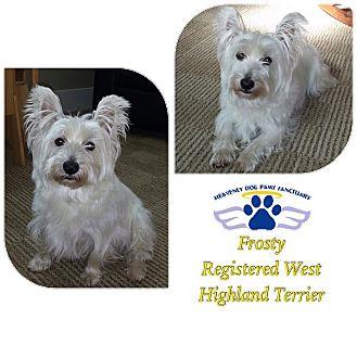 Westie, West Highland White Terrier Dog for adoption in Folsom, Louisiana - Frosty