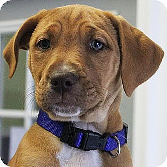 Vizsla/American Staffordshire Terrier Mix Puppy for adoption in Huntley, Illinois - Amanda