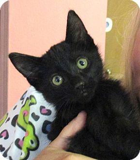 Domestic Shorthair Kitten for adoption in Reeds Spring, Missouri - Casper