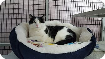 Domestic Shorthair Cat for adoption in Maryville, Illinois - Miss Kitty