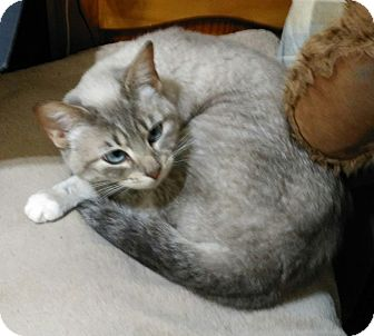 Siamese Cat for adoption in Madison, Tennessee - Opal - blue eyes!