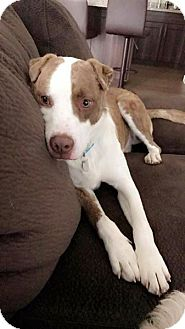 Shar Pei/Australian Cattle Dog Mix Dog for adoption in Phoenix, Arizona - Rusty