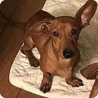 Adopt A Pet :: Brodie - Pearland, TX