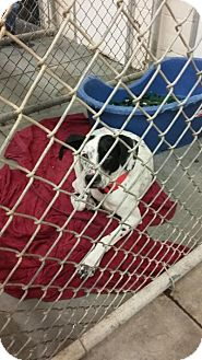 Dalmatian Mix Dog for adoption in Middletown, New York - Fin