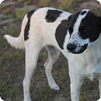 Adopt A Pet :: Stache - Tampa, FL