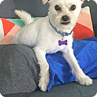 Maltese/Jack Russell Terrier Mix Puppy for adoption in Redondo Beach, California - Biscuit is a happy puppy!